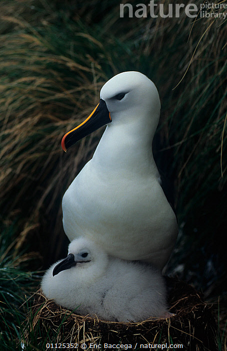 Indian yellow-nosed albatross (Thalassarche carteri) with chick at nest, Amsterdam Is, Sub-antarctic  ,  ALBATROSSES,ANTARCTICA,BABIES,BIRDS,CHICKS,Diomedea,FAMILIES,NESTS,PORTRAITS,SEABIRDS,VERTEBRATES,VERTICAL  ,  Eric Baccega