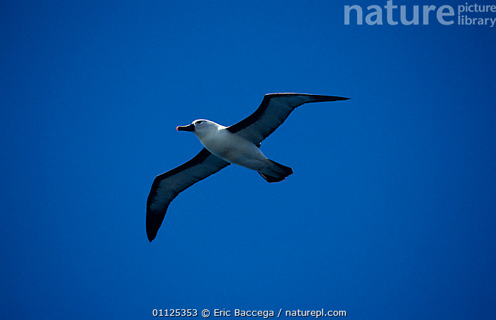 Indian yellow-nosed albatross (Thalassarche carteri) in flight, Amsterdam Is, Sub-antarctic  ,  ALBATROSSES,ANTARCTICA,BIRDS,DIOMEDEA CARTERI,FLYING,SEABIRDS,SKY,VERTEBRATES  ,  Eric Baccega