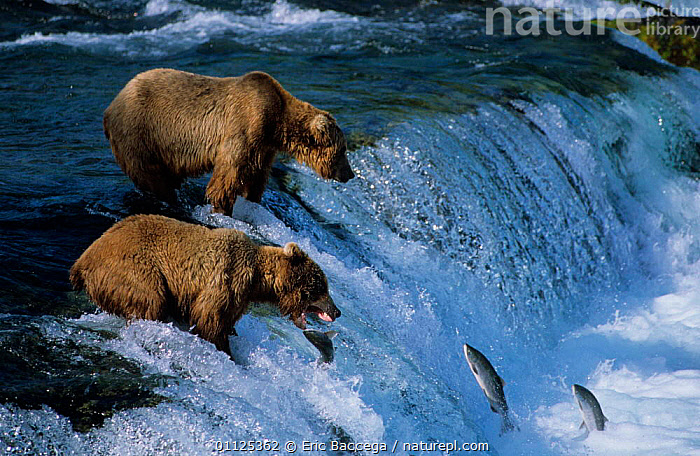 Grizzly bears catching migrating salmon, Brooks river, Katmai Alaska {Ursus arctos horribilis}  ,  PREDATION,TWO,BEHAVIOUR,WATERFALLS,FISHING,FEEDING,FISH,MAMMALS,NORTH AMERICA,US,WATERFALL,CARNIVORES,NP,MIGRATION,USA,National Park  ,  Eric Baccega
