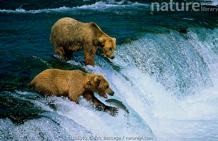 Grizzly bears catching migrating salmon, Brooks river, Katmai NP, Alaska {Ursus arctos horribilis}  ,  FISHING,MAMMALS,WATERFALLS,NORTH AMERICA,RIVERS,PREDATION,MIGRATION,WATERFALL,BEHAVIOUR,FISH,US,USA,CARNIVORES,FEEDING,TWO  ,  Eric Baccega
