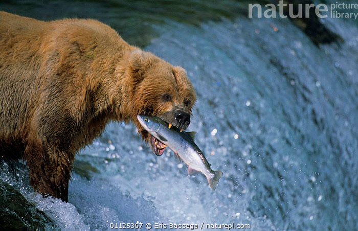 Grizzly bear catches salmon, Brooks river, Katmai NP, Alaska {Ursus arctos horribilis}  ,  PREDATION,CARNIVORES,BEARS,PRECISION,FEEDING,MAMMALS,NORTH AMERICA,RIVERS,USA,WATERFALLS,FISHING,MIGRATION,SUCCESS,BEHAVIOUR,US,WATERFALL,FISH,CATCHING  ,  Eric Baccega