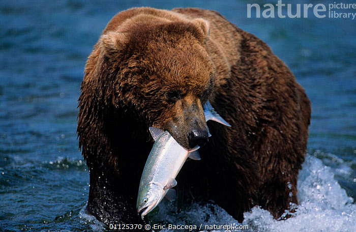 Grizzly bearwith caught salmon, Brooks river, Katmai NP, Alaska {Ursus arctos horribilis}  ,  FISH,MAMMALS,NORTH AMERICA,RIVERS,BEHAVIOUR,CARNIVORES,USA,US,FEEDING,BEARS,FISHING,PORTRAITS,PREDATION  ,  Eric Baccega