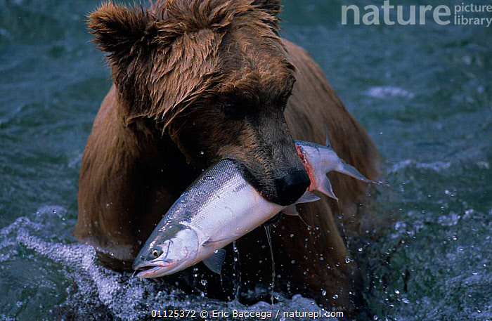 Grizzly bear with caught salmon, Brooks river, Katmai, Alaska {Ursus arctos horribilis}  ,  NORTH AMERICA,BEARS,CARNIVORES,FISHING,PREDATION,FISH,FEEDING,NP,MAMMALS,US,USA,BEHAVIOUR,National Park  ,  Eric Baccega