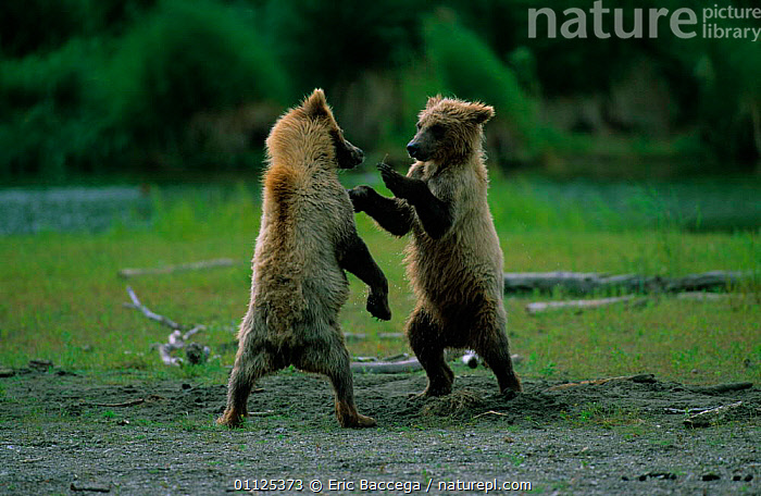 Grizzly bear cubs play fighting, Katmai Alaska {Ursus arctos horribilis}  ,  CARNIVORES,BEHAVIOUR,MAMMALS,BABIES,BEARS,USA,TWO,JUVENILE,US,NORTH AMERICA,PLAYING,NP,National Park  ,  Eric Baccega