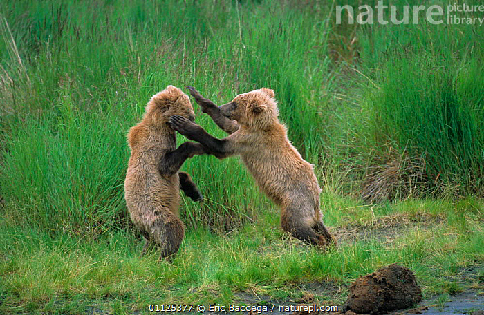 Grizzly bear cubs play fighting, Katmai National Park, Alaska {Ursus arctos horribilis}  ,  BABIES,BEHAVIOUR,USA,CARNIVORES,ACTION,US,TWO,NP,PLAYING,BEARS,BROOKS,JUVENILE,MAMMALS,NORTH AMERICA,National Park  ,  Eric Baccega