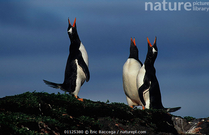 Three Gentoo penguins displaying, Kerguelen Is, Sub-antarctic {Pygoscelis papua}  ,  GROUPS,STRETCHING,VOCALISATION,SUB ANTARCTICA,DISPLAY,ANTARCTICA,BIRDS,FLIGHTLESS,VERTICAL,Communication,Penguins,Seabirds, Seabirds  ,  Eric Baccega