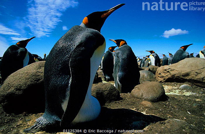King penguin incubating egg in colony, Kerguelen Is, Sub-antarctica {Aptenodytes patagoni}  ,  EGGS,BIRDS,COLONIES,NESTS,PARENTAL BEHAVIOUR,PENGUINS,BEHAVIOUR,FLIGHTLESS,GROUPS,Seabirds, Seabirds  ,  Eric Baccega