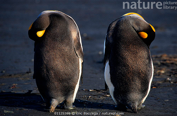 Two King penguins sleeping, rear view, Kerguelen Is, Sub-antarctic {Aptenodytes patagoni}  ,  BEHAVIOUR,FLIGHTLESS,VERTICAL,BACK,SUB ANTARCTICA,HUMOROUS,SYMETRY,BIRDS,SEABIRDS,Concepts,Penguins,GRUMPY, Seabirds  ,  Eric Baccega