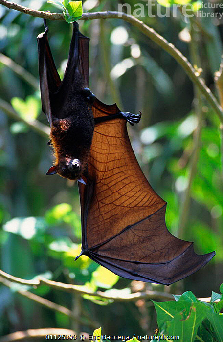 Red flying fox hanging in tree with wing extended, Komodo Island {Pteropus scapulatus}  ,  INDONESIA,BATS,CHIROPTERA,GROOMING,WINGS,MAMMALS,ROOSTING,VERTICAL,ASIA,BAT,RESTING,,NP,Komodo National Park,UNESCO World Heritage Site,  ,  Eric Baccega
