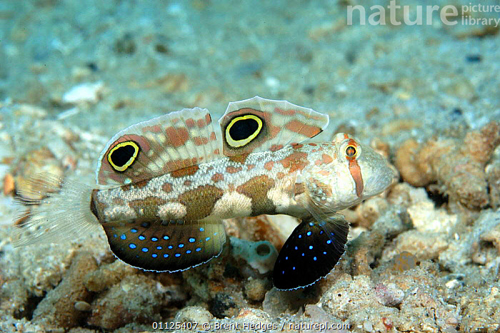 Crab eyed / Twin spot goby {Signigobius biocellatus} Papua New Guinea  ,  PORTRAITS,INDO PACIFIC,TROPICAL,UNDERWATER,PAPUA NEW GUINEA,SPOTS,DORSAL,FINS,GOBIES,FISH,MARINE,PROFILE  ,  Brent Hedges