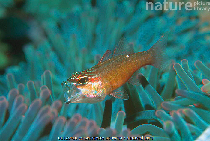 Moluccan cardinalfish in anemone, mouth open {Apogon moluccensis} Sulawesi  ,  FEEDING,MOUTHS,UNDERWATER,INDONESIA,MARINE,TROPICAL,HUMOROUS,FISH,HIDING,INDO PACIFIC,Asia,Concepts  ,  Georgette Douwma