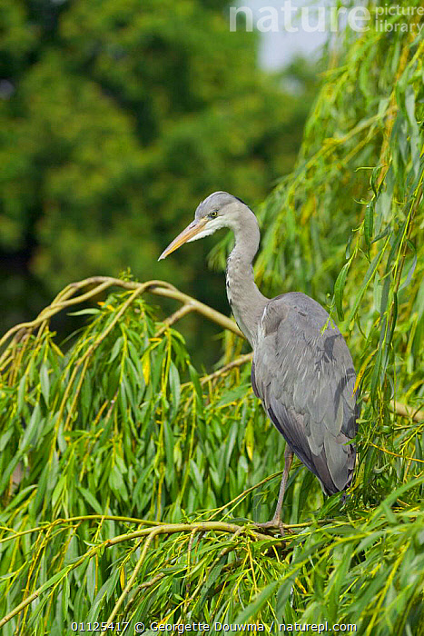 Grey heron perched in Weeping willow tree, Regent's Park, London, England,  ,  HERONS,WADING BIRDS,URBAN,CITY PARK,TREES,EUROPE,UK,VERTICAL,BIRDS,United Kingdom,Plants,British  ,  Georgette Douwma