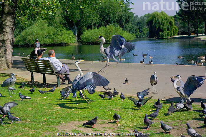 Grey herons {Ardea cinerea} squabbling over food, Regents Park, London, England  ,  MIXED SPECIES,FLYING,LANDSCAPES,CITIES,EUROPE,FEEDING,LAKES,UK,URBAN,PIGEONS,WADING BIRDS,PEOPLE,BEHAVIOUR,BIRDS,CITY PARK,PARKS,PIGEON,United Kingdom,British  ,  Georgette Douwma