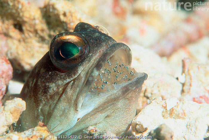 Jawfish {Opistognathus sp} male with eyed brood of eggs in mouth, Borneo  ,  FISH,PARENTAL BEHAVIOUR,UNDERWATER,MARINE,PARENTING,PROTECTING,INCUBATION,EYES,GUARDING,INDONESIA,INTERESTING,TROPICAL,BROODING,INDO PACIFIC,Asia  ,  Georgette Douwma