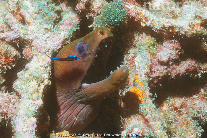 Moray eel {Gymnothorax sp} with juvenile Cleaner wrasse, Maldives  ,  CLEANING,INDIAN,INDIAN OCEAN,OCEAN,FISH,MARINE,GROOMING,SYMBIOSIS,UNDERWATER,BEHAVIOUR,MIXED SPECIES,TROPICAL,Concepts,Partnership  ,  Georgette Douwma