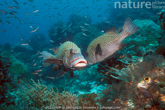 Many spotted / Harlequin sweetlips {Plectorhinchus chaetodonoides} Indonesia  ,  CORAL REEFS,FISH,HABITAT,INDO PACIFIC,MARINE,TWO,UNDERWATER  ,  Georgette Douwma