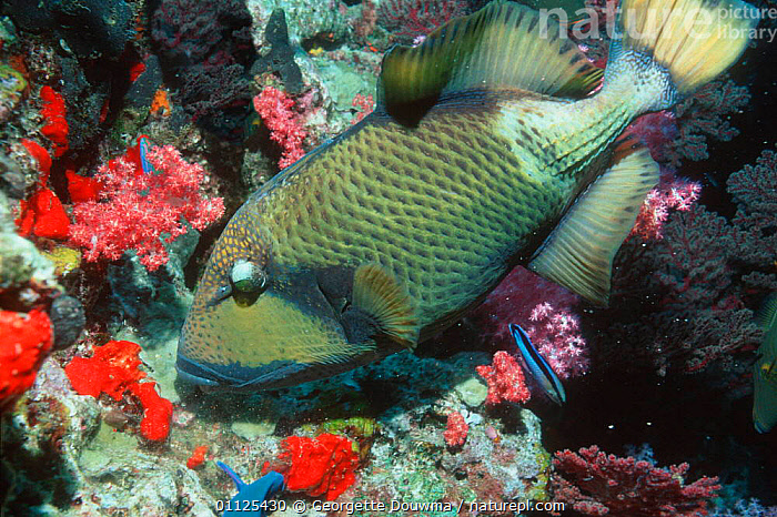 Titan triggerfish {Balistoides viridescens} and Cleaner wrasse, Andaman Sea,  ,  FISH,TROPICAL,UNDERWATER,INDO PACIFIC,MIXED SPECIES,THAILAND,CORAL REEFS,MARINE  ,  Georgette Douwma