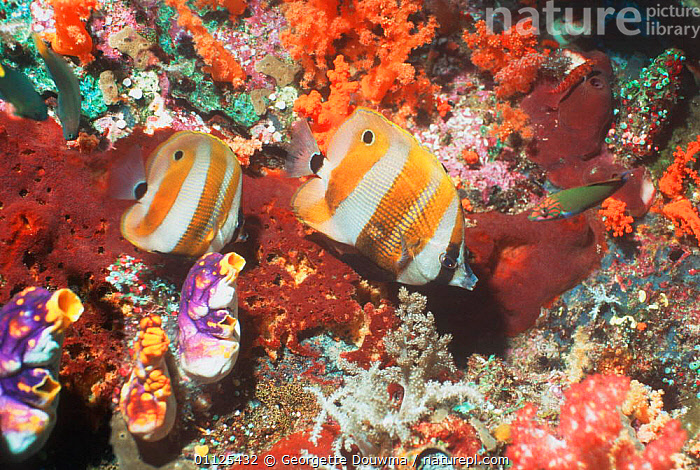 Orange banded coralfish / Golden girdled butterflyfish on coral reef, Irian Jaya / Western New Guinea (West Papua).  ,  CORAL REEFS,TROPICAL,MARINE,FISH,INDONESIA,INDO PACIFIC,TWO,CHAETODON,NEW GUINEA,UNDERWATER,Asia  ,  Georgette Douwma