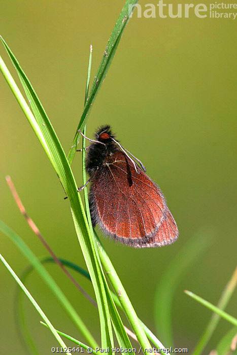 Mountain ringlet butterfly {Erebia epiphron} Cumbria, England  ,  EUROPE,UK,INVERTEBRATES,BUTTERFLIES,INSECTS,LEPIDOPTERA,VERTICAL,United Kingdom,British  ,  Paul Hobson
