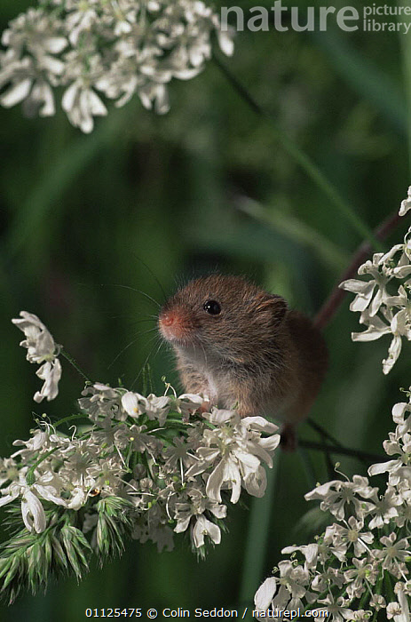 Harvest mouse {Micromys minutus} England  ,  CUTE,ENGLAND,EUROPE,FLOWERS,MAMMALS,MICE,RODENTS,UK,VERTEBRATES,VERTICAL,United Kingdom,British,Muridae  ,  Colin Seddon