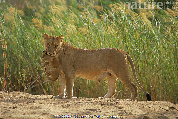 Lioness carrying 2-month cub {Panthera leo} Mala Mala Game Reserve, South Africa  ,  AFRICA,BABIES,BIG CATS,CARNIVORES,CARRYING,CATS,CUBS,HORIZONTAL,LIONS,MAMMALS,PARENTAL,RESERVE,SOUTHERN AFRICA,VERTEBRATES,WINTER  ,  Richard Du Toit