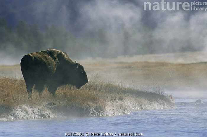 Lone Bison in mist by Firehole river {Bison bison} Yellowstone NP, Wyoming, USA  ,  ARTIODACTYLA,ATMOSPHERIC,BOVIDS,BUFFALOS,DAWN,GEOTHERMAL,HORIZONTAL,MAMMALS,MIST,NORTH AMERICA,NP,RESERVE,RIVERS,USA,VERTEBRATES,WATER,Geology,National Park,Cattle  ,  Pete Cairns