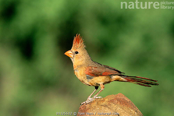Northern cardinal, female {Cardinalis cardinalis} Arizona, USA  ,  USA,NORTH AMERICA,PORTRAITS,PROFILE,CREST,FEMALES,BIRDS,CARDINALS  ,  Tom Vezo