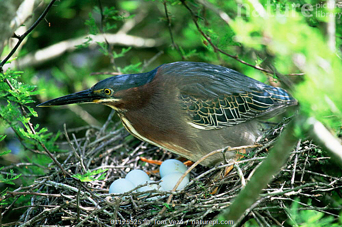 Green heron with eggs on nest {Butorides virescens} Mexico  ,  BIRDS,CENTRAL AMERICA,EGGS,MEXICO,NESTS,VERTEBRATES,WADING BIRDS  ,  Tom Vezo
