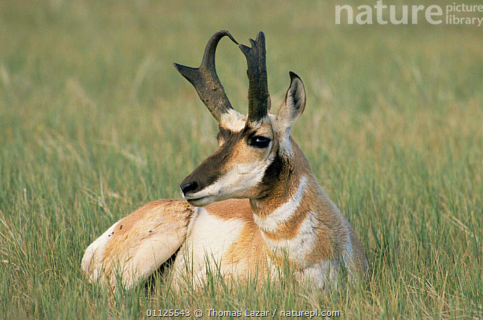 Male Pronghorn anteleope {Antilocapra americana} USA, endangered species  ,  ANTELOPES,ARTIODACTYLA,BOVIDS,ENDANGERED,HORNS,MALES,MAMMALS,NORTH AMERICA,PORTRAITS,USA,VERTEBRATES  ,  Thomas Lazar