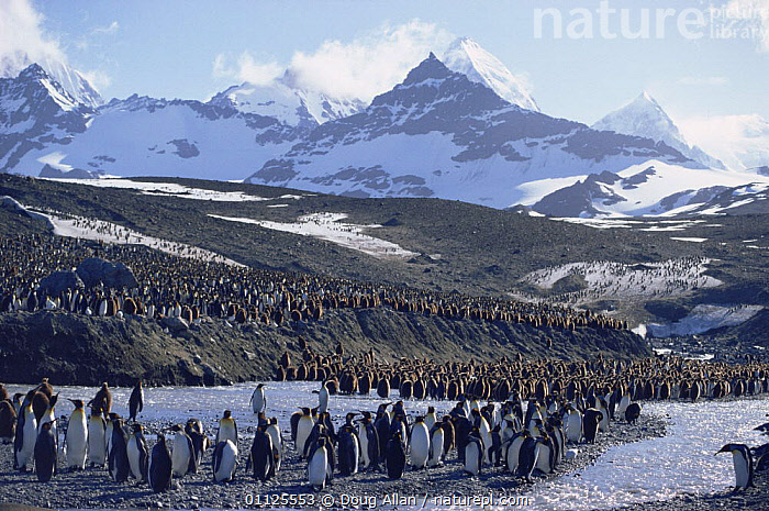 King penguins and chicks {Aptenodytes patagoni} St Andrews Bay, South Georgia  ,  BEACHES,BIRDS,CHICKS,COASTAL WATERS,FAMILIES,FLIGHTLESS,GROUPS,HABITAT,HORIZONTAL,LANDSCAPES,MOUNTAINS,PENGUINS,SEABIRDS,VERTEBRATES, Seabirds  ,  Doug Allan