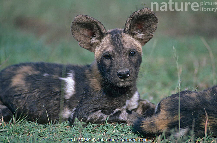 African wild dog pup at den {Lycaon pictus} Serengeti NP, Tanzania  ,  BABIES,CANIDS,CARNIVORES,CUTE,DOGS,EAST AFRICA,ENDANGERED,FACES,HEADS,JUVENILE,MAMMALS,NP,PAINTED,PUPPIES,RESERVE,VERTEBRATES,YOUNG,Africa,National Park , Bruce Davidson,,Serengeti National Park, UNESCO World Heritage Site,  ,  Jabruson