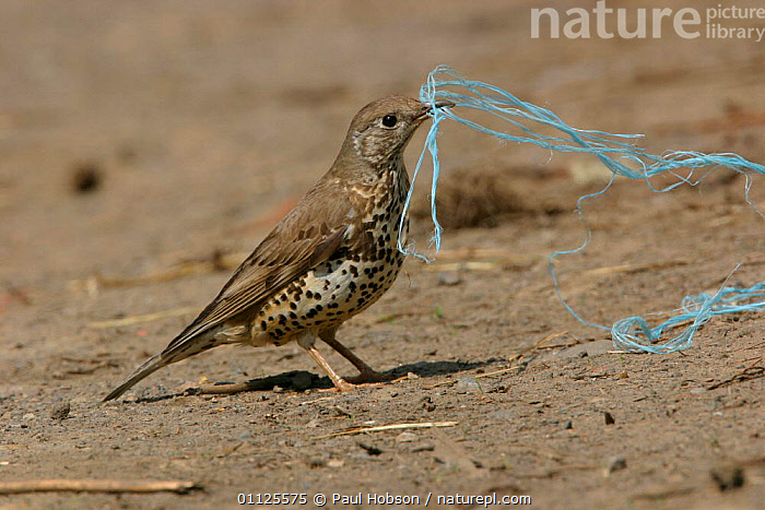 Mistle thrush {Turdus viscivorus} collecting bailer twine for nesting material.  ,  UK,NESTING BEHAVIOUR,THRUSHES,BEAKS,ENGLAND,BIRDS,STRING,MATERIAL,Europe,United Kingdom,Reproduction,British  ,  Paul Hobson