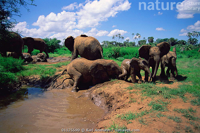 African elephants bathing in mud {Loxodonta africana} Samburu Kenya  ,  EAST AFRICA,GROUPS,PROBOSCIDS,ROLLING,FAMILIES,BEHAVIOUR,FAMILY,MAMMALS,RESERVE,WATER,Africa,Elephants  ,  Karl Ammann