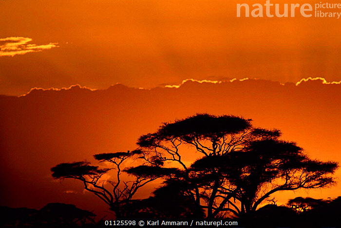 Acacia trees silhouette at sunset, Kenya  ,  SILHOUETTES,LANDSCAPES,ORANGE,Africa,EAST-AFRICA  ,  Karl Ammann