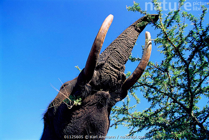 High angle shot of African elephant reaching up to feed {Loxodonta africana} Kenya  ,  BEHAVIOUR,ELEPHANTS,MOUTHS,FEEDING,STRETCHING,MAMMALS,RESERVE,EAST AFRICA,PROBOSCIDS,TRUNKS,Africa ,low angle  ,  Karl Ammann