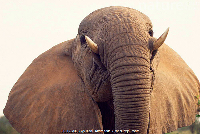 High angle shot of African elephant {Loxodonta africana} Kenya  ,  MAMMALS,ELEPHANTS,PROBOSCIDS,PORTRAITS,EYES,EAST AFRICA,HUMOROUS,RESERVE,TRUNKS,Africa,Concepts ,low angle  ,  Karl Ammann