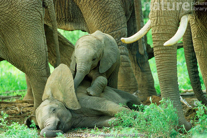Two African elephant babies playing {Loxodonta africana} Kenya  ,  ELEPHANTS,MAMMALS,EARS,RESERVE,PROBOSCIDS,FAMILIES,CUTE,BABY,PLAY,BEHAVIOUR,EAST AFRICA,Africa,Communication  ,  Karl Ammann