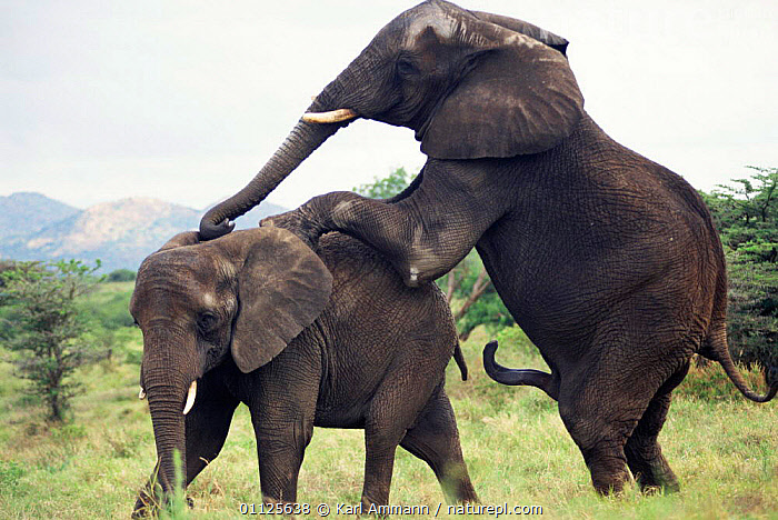African elephants mating {Loxodonta africana} Kenya  ,  EAST AFRICA,SEX ORGANS,PROBOSCIDS,PENIS,COPULATION,MALE FEMALE PAIR,MAMMALS,MATING BEHAVIOUR,Africa,Reproduction,Elephants  ,  Karl Ammann