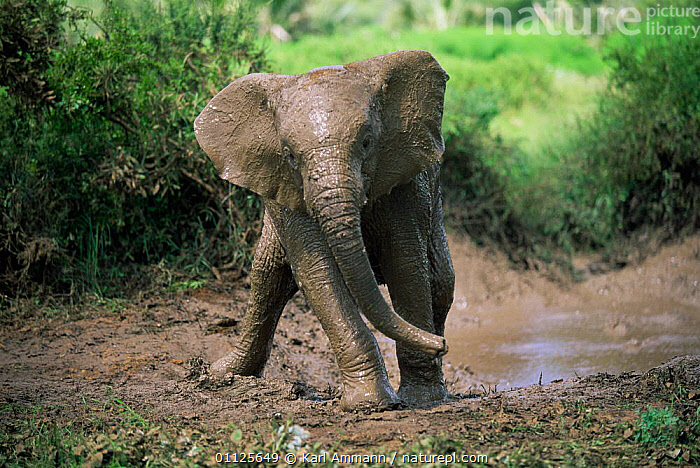 Young African elephant covered in mud after bathing {Loxodonta africana} Kenya  ,  EAST AFRICA,BEHAVIOUR,BABIES,ELEPHANTS,HUMOROUS,PROBOSCIDS,MAMMALS,Africa,Concepts  ,  Karl Ammann