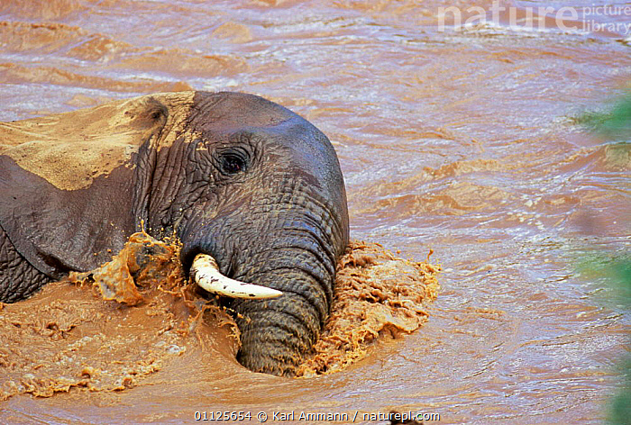 African elephant bathing in river {Loxodonta africana} Kenya  ,  EAST AFRICA,MAMMALS,ELEPHANTS,BEHAVIOUR,PROBOSCIDS,RIVERS,Africa  ,  Karl Ammann