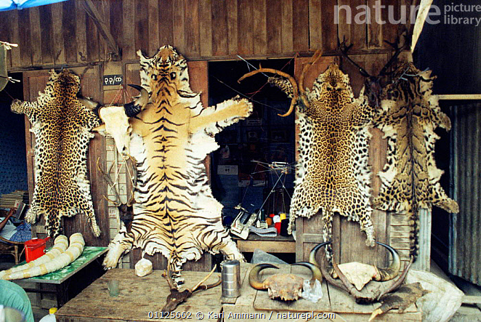 Illegal wildlife products for sale including tiger and leopard skins, Tachileh, Burma  ,  IVORY,TIGER,BIG CATS,TUSKS,CARNIVORES,CLOUDED LEOPARD,MAMMALS,CAT,SHOP,LEOPARD,SKINS,ASIA,PELTS,ILLEGAL,PRODUCT,SKIN  ,  Karl Ammann
