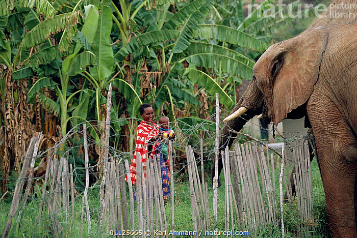 Mother and child watch African elephant over protective fence, Laikipia, Kenya  ,  AFRICA,PROTECTION,PROBOSCIDS,MAMMALS,EAST AFRICA,CONFLICT,PEOPLE,AGRICULTURE,ELEPHANTS  ,  Karl Ammann
