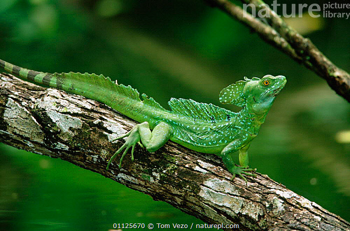 Basilisk / Jesus Christ lizard {Basiliscus basiliscus} Costa Rica  ,  REPTILES,TROPICAL RAINFOREST,CENTRAL AMERICA,GREEN  ,  Tom Vezo