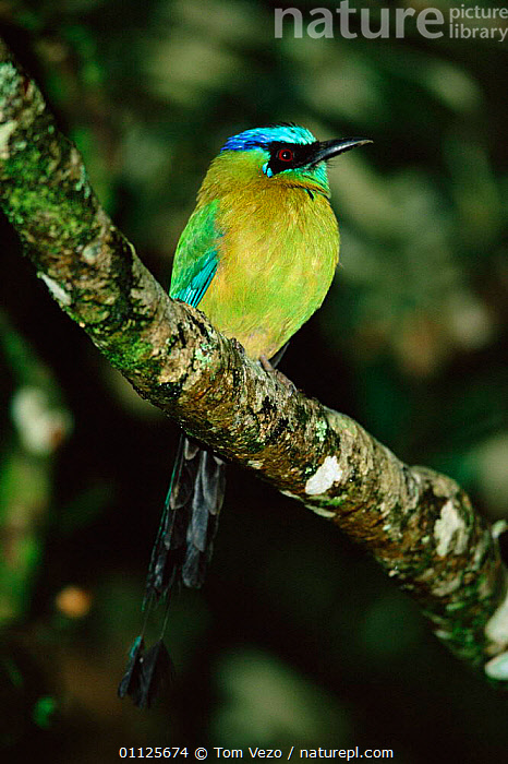 Blue crowned motmot {Momotus momota} Costa Rica  ,  VERTICAL,TROPICAL RAINFOREST,CENTRAL AMERICA,BIRDS,MOTMOTS  ,  Tom Vezo