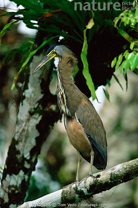 Bare throated tiger heron {Tigrisoma mexicanum} Tortugero NP, Costa Rica  ,  VERTICAL,WADING BIRDS,RESERVE,CENTRAL AMERICA,BIRDS,PORTRAITS  ,  Tom Vezo