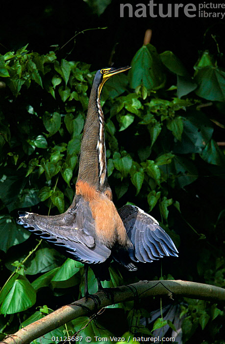 Bare throated tiger heron sunning {Tigrisoma mexicanum} Tortugero NP, Costa Rica  ,  BIRDS,CENTRAL AMERICA,HERONS,HUMOROUS,NP,PORTRAITS,RESERVE,VERTEBRATES,VERTICAL,WADING BIRDS,WINGS,Concepts,National Park  ,  Tom Vezo