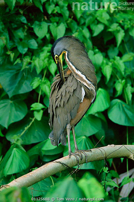 Bare throated tiger heron preening {Tigrisoma mexicanum} Tortugero NP, Costa Rica  ,  NECK,BIRDS,CENTRAL AMERICA,RESERVE,WADING BIRDS,VERTICAL  ,  Tom Vezo