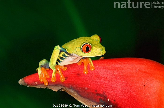Red eyed tree frog {Agalychnis callidryas} Tortugero NP, Costa Rica  ,  TROPICAL RAINFOREST,RESERVE,TREEFROGS,CENTRAL AMERICA,COLOURFUL,EYES,AMPHIBIANS,HELICONIUM  ,  Tom Vezo