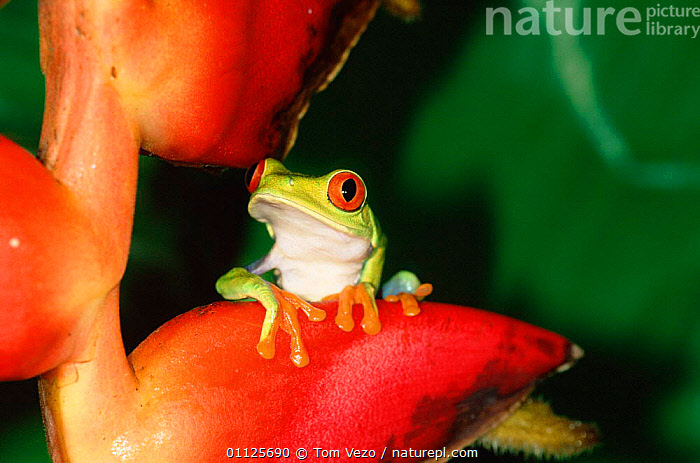 Red eyed tree frog {Agalychnis callidryas} Tortugero NP, Costa Rica  ,  HELICONIUM,AMPHIBIANS,EYES,COLOURFUL,CENTRAL AMERICA,TREEFROGS,RESERVE,TROPICAL RAINFOREST  ,  Tom Vezo