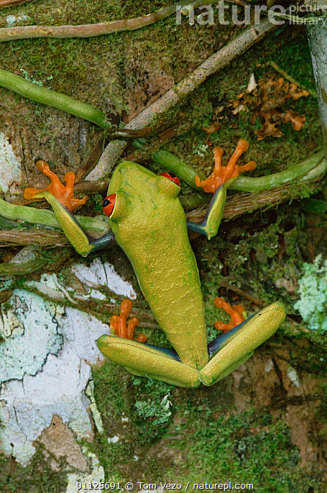 Red eyed tree frog {Agalychnis callidryas} Tortugero NP, Costa Rica  ,  TROPICAL RAINFOREST,VERTICAL,RESERVE,TREEFROGS,CENTRAL AMERICA,AMPHIBIANS,HELICONIUM  ,  Tom Vezo